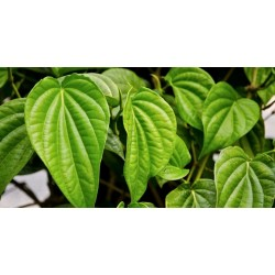 Sireh Leaf Extract - A summary and reference to claims
